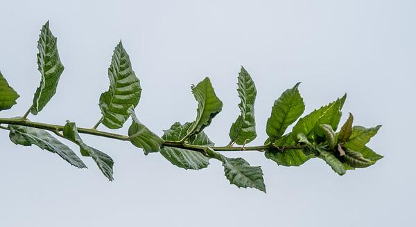 Quercus tomentella, Island Live Oak