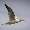 The Northern gannet (Morus bassanus) breeds in only a few large colonies along the Northern Atlantic.  It spends most of it's life at sea, diving spectacularly into the water in search of fish.