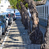 Old trees shading Tavira sidewalk