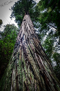 Henry Cowell Redwood State Park