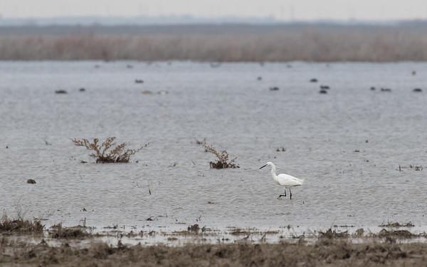 sultan marshes, kleine zilverreiger, little egret