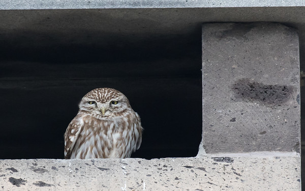 sultan marshes, steenuil, little owl