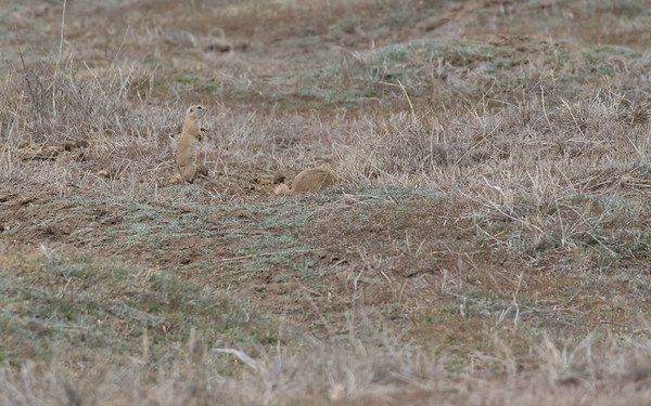 sultan marshes, ground squirrel