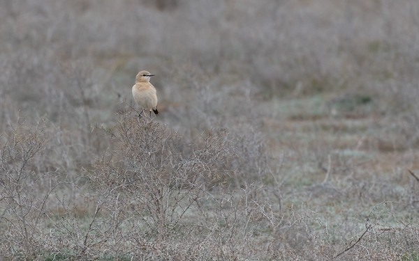 sultan marshes, isabeltapuit, isabelline wheatear