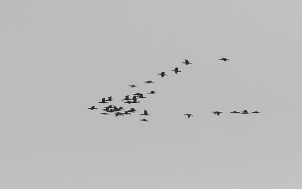 sultan marshes, dwergaalscholver, pygmy cormorant