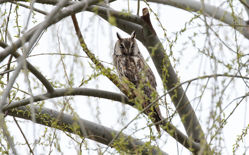 sultan marshes, ransuil, long-eared owl
