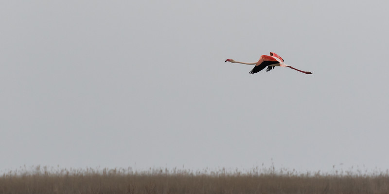 sultan marshes, greater flamingo