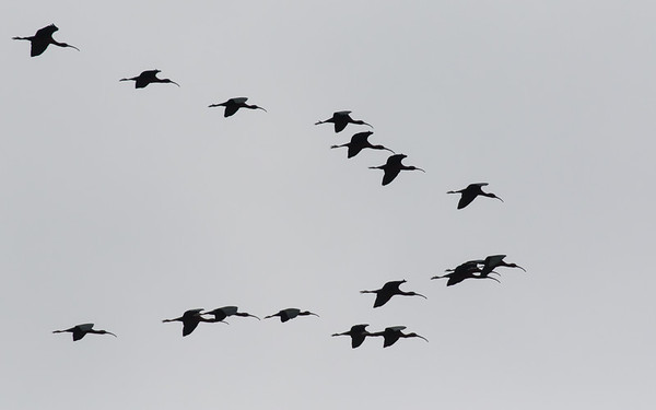 sultan marshes, zwarte ibis, glossy ibis