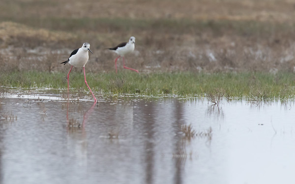 sultan marshes, steltkluut, black-winged stilt