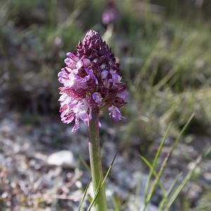 le jocou, orchis purpurea, purperorchis