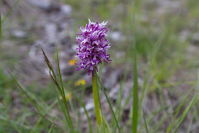 but de st genix, orchis simia, aapjesorchis