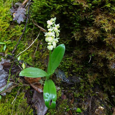 balcon de glandasse,  dactylorhiza latifolia, vlierorchis