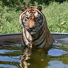 MET 090919 Tiger