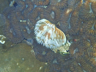 Banded feather duster worm