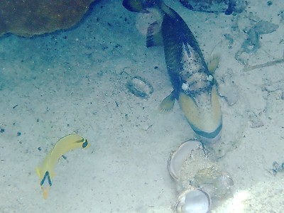 Titan triggerfish with clam