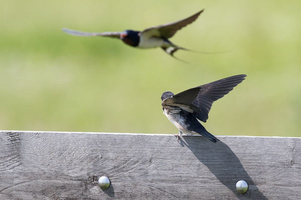 boerenzwaluw, barn swallow