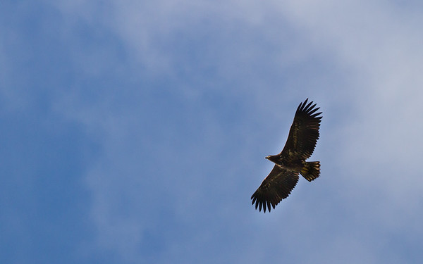 zeearend, white-tailed eagle