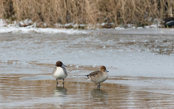pijlstaart, northern pintail