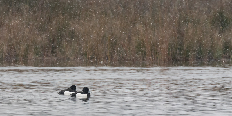 kuifeend, tufted duck