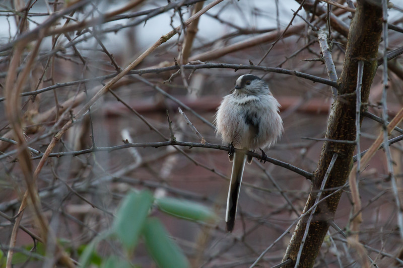 staartmees, long-tailed tit