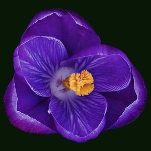 Crocus Blossom