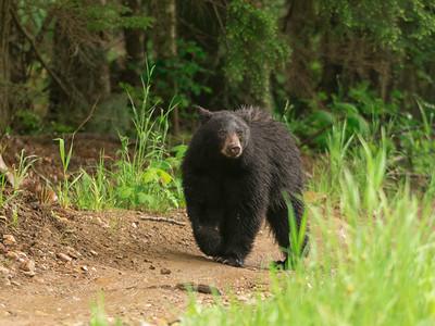 eddies bear