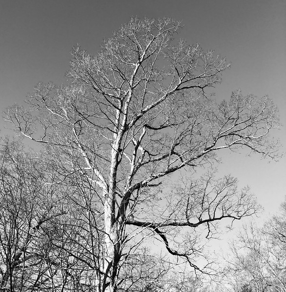 Tree Noir effect