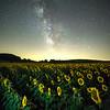 Milky Way and sunflower field, Ancram, NY