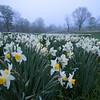 Peak bloom in the pre-dawn mist, Laurel Ridge daffodil fields, Litchfield, CT