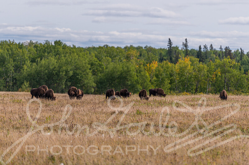 Riding Mountain Naitional Park Manitoba Bison Enclosure