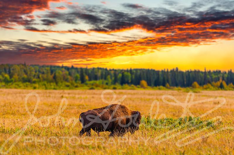Riding Mountain Naitional Park Manitoba Bison Enclosure