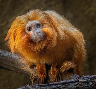 Tamarin Monkey  - PSA Score 12