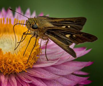 Moth on Flower- PSA Score 10