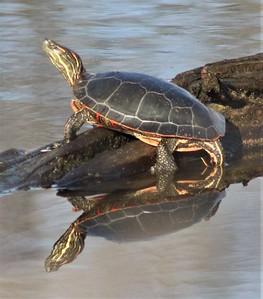 DA119,DN,Painted Turtle