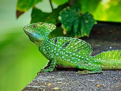 DA115,DN,Jesus-Christ-Lizard-Costa-Rica