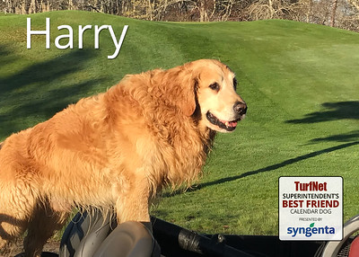 9 year old Golden Retriever  Cape Cod Country Club, East Falmouth, MA