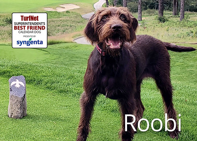 8 month old Pudelpointer  Circling Raven Golf Club, Worley, ID