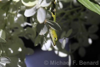 Green Anole perched on flowers