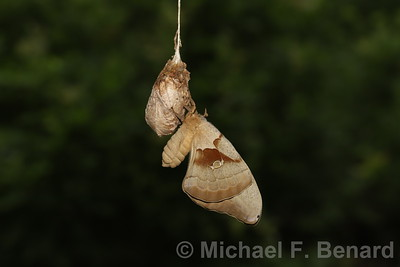Polyphemus moth perched on cocoon.