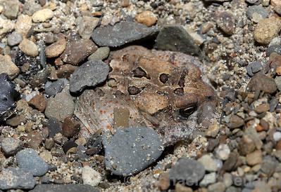 American toad hiding