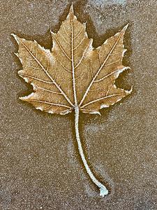 DA022,DN,frosted-fallen-leaf