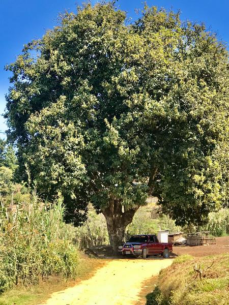 Giant avocado tree