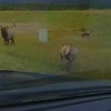 Sheriff Bull Elk False Charge