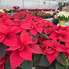 201130 Poinsettia Enterprise 1<br /> James Neiss/staff photographer <br /> Sanborn, NY - It was a very gray day outside in Sanborn on Monday, but inside Greenhouse worker Kelli O'Connor waters a sea of colorful Poinsettia plants at H. A. Treichler & Sons Greenhouses and Farm.