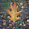 200921 Enterprise 1<br /> James Neiss/staff photographer <br /> Niagara Falls, NY - And so it begins - A leaf freshly fallen from a tree contrasts with the browns and greens with its golden hugh during a visit to Whirlpool State Park on the last day of summer.