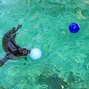 201023 Aquarium Prediction 2<br /> James Neiss/staff photographer <br /> Niagara Falls, NY - Stryker the Harbor Seal at the Aquarium of Niagara chose a ball labeled Cold over another labeled Frigid as his prediction for this winter's weather at the Aquarium of Niagara.