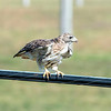 200921 Enterprise 3<br /> James Neiss/staff photographer <br /> Niagara Falls, NY - As the roadway rises to the level of the telephone wires on Tuscarora Road approaching the railroad bridge, a bird of prey can be seen getting ready to take flight.