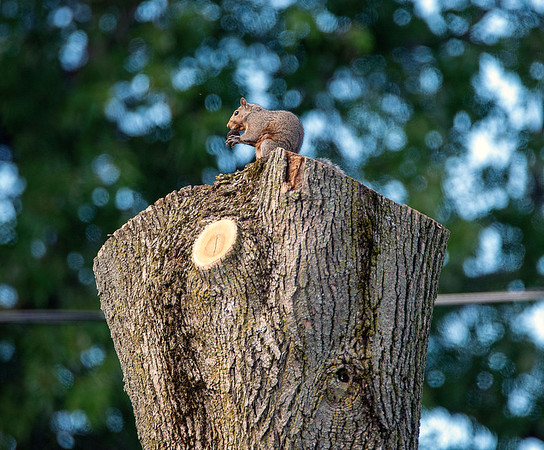 201001 Enterprise 3<br /> James Neiss/staff photographer <br /> Sanborn, NY - A squirrel enjoys a snack on a recently cut tree. One can hope that it was not his home.