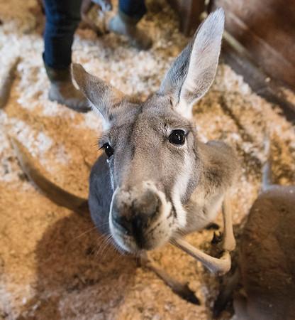 200130 kangaroo 8
