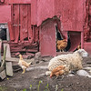 200903 Enterprise 1<br /> James Neiss/staff photographer <br /> Cambria, NY - Life on a farm did seem kinda laid back for this sheep and chickens at a Human Road farm on Thursday.